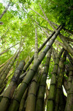 Fotoroleta Picture of tropical bamboo forest