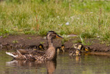 Mother duck guarding ducklings