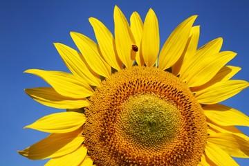 Ausschnitt einer Sonnenblume