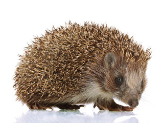 Hedgehog, isolated on white