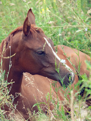 lying arabian foal  in the meadow. close up