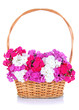 Beautiful bouquet of phlox in wicker basket isolated on white