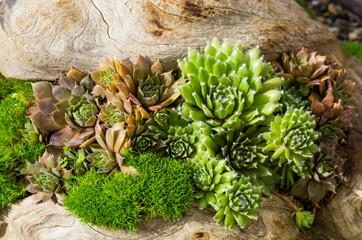 Sedum plants used for sustainable plantings
