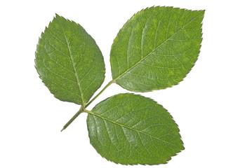 Tripetal  Rose Leaf