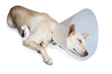 A dog wearing a protective veterinary collar after a surgical