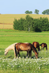 White and brown Horses in the green Nature