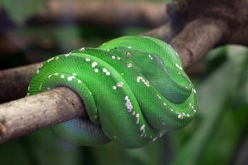Grüne Schlange zusammengerollt
