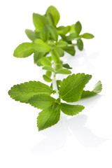Stevia sugar leaf isolated.