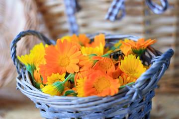 Сорванные цветы календулы лежат в корзине