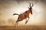 Red hartebeest running in dust - 54469981