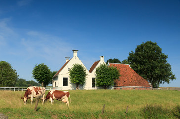 Cows and Dutch farm