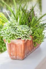 Sedum and sempervivium plants