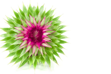 Blooming exotic flower isolated