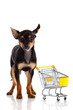 Chihuahua dog  with shopping cart