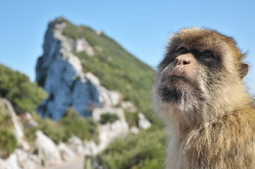 Barbary Ape With Rock Of Gibraltar
