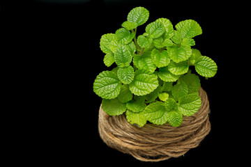Fresh mint leaves isolated on black