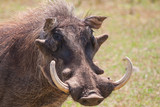 Warthog with big tusks and hairy face close-up poster