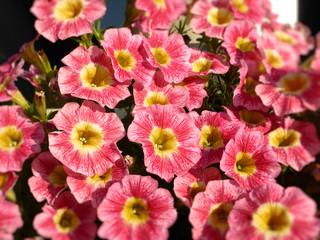 pink Petunia - Hängepflanze