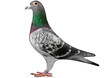 canvas print picture - Racing Pigeon - Brieftaube