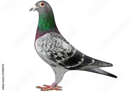 canvas print picture Racing Pigeon - Brieftaube