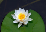 Victoria amazonica, water lily on pond