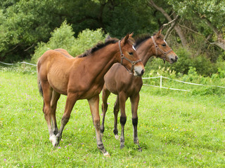 Couple of sporthorse foals on meadow