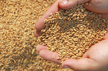 Wheat in a hand - good harvest