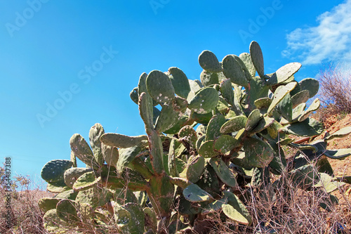 old wild prickly pears with blue sky background