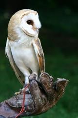 Common Barn Owl (Tyto Alba) sitting on hawker glove looking left