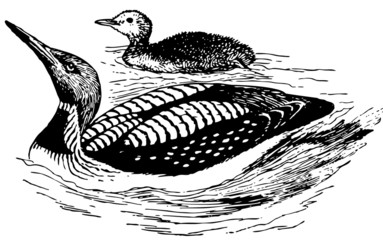 Bird Black-throated Loon with its nestling