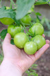 Bunch of green tomatos on a branch