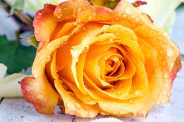 Schöne, gelbe Rose mit Wassertropfen