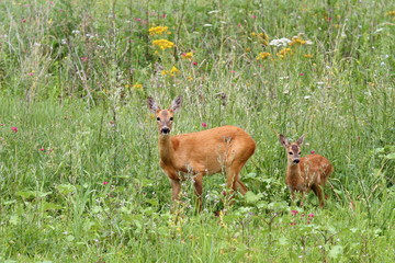 deer doe and her baby