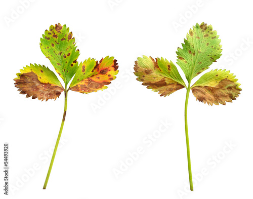 canvas print picture Strawberry leaf, fungal disease, scorch,Diplocarpon earlianum