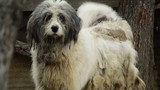 carpathian  sheep dog barking