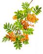 Eberesche (sorbus aucuparia) - Ein Zweig Vogelbeeren