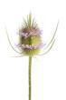 Wilde Karde (Dipsacus silvestris) - Einzelne Kardenblüte