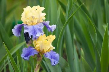two wet yellow and blue irises on a green leaves background