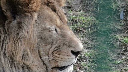 lion at the zoo close up