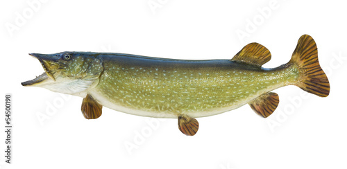 Northern Pike isolated on white