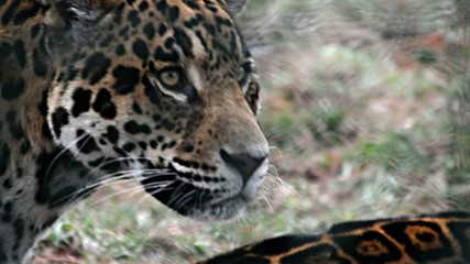 jaguar at the zoo