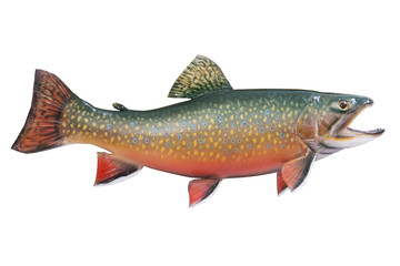 Male brook or speckled trout in spawning colors isolated on whit