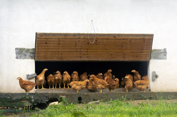 chicken coop with lot of hens