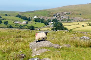 Sheep standing on rock in Dartmoor national Park Devon