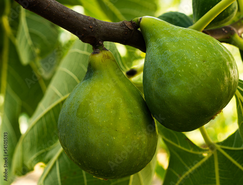 Green figs fruit on tree