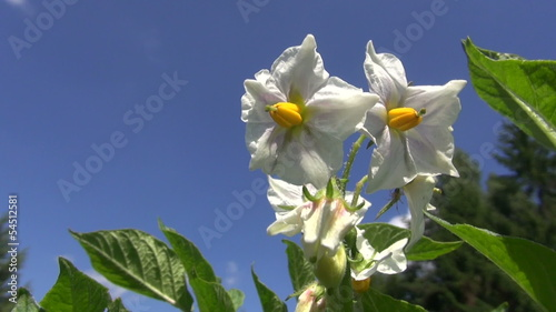 beautiful vegetable potato blossom on sky background