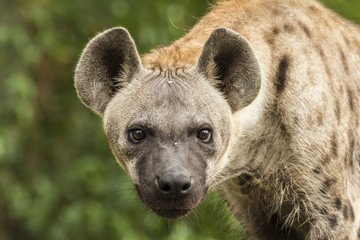 Spotted Hyena in the wild