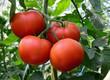 Tomato 36