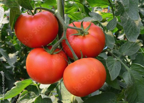 Tomato 35