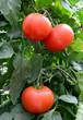 Tomato 40